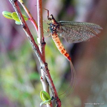 Gray Medium Hemingway Mayfly Wings
