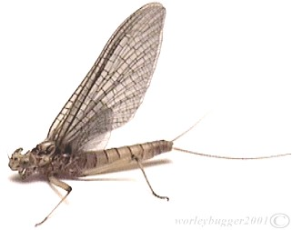 The Yakima River Pale Evening Dun Mayfly