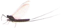 Yakima River Mahogany Dun Mayfly.....Hatching Now!