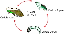 The_Life_Cycle_Of_The_Caddis.jpg